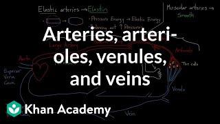 Arteries, arterioles, venules, and veins | Health & Medicine | Khan Academy