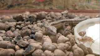 Живородящая ящерица Матильда кушает. The lunch of viviparous lizard.