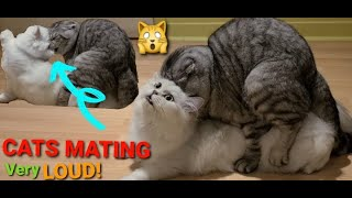 Cats Mating Very Loud! First Time.