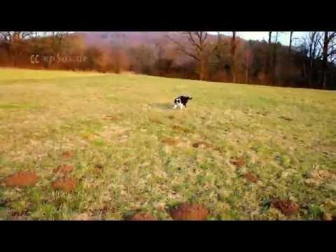 Australian Shepherd Dog playing Stick Game