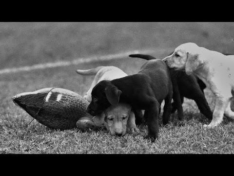 Duck Dog : Contender Puppies