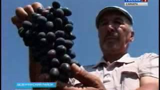 В садоводческих хозяйствах Самарской губернии начался сбор винограда и яблок