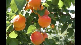 нектарин и процедуры его выращивания из косточки
