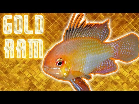 Gold Rams Dwarf Cichlid Un-boxing - Bringing Some Shine Into The Fishroom