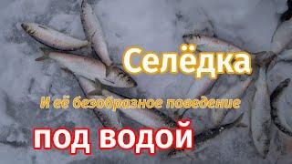 Нет Махалки на селёдке не работают Подлёдная рыбалка на селёдку и корюшку на озере Вилюй Солёное
