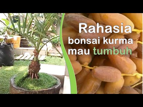 riview-koleksi-bibit-bonsai-kurma,-dkk.
