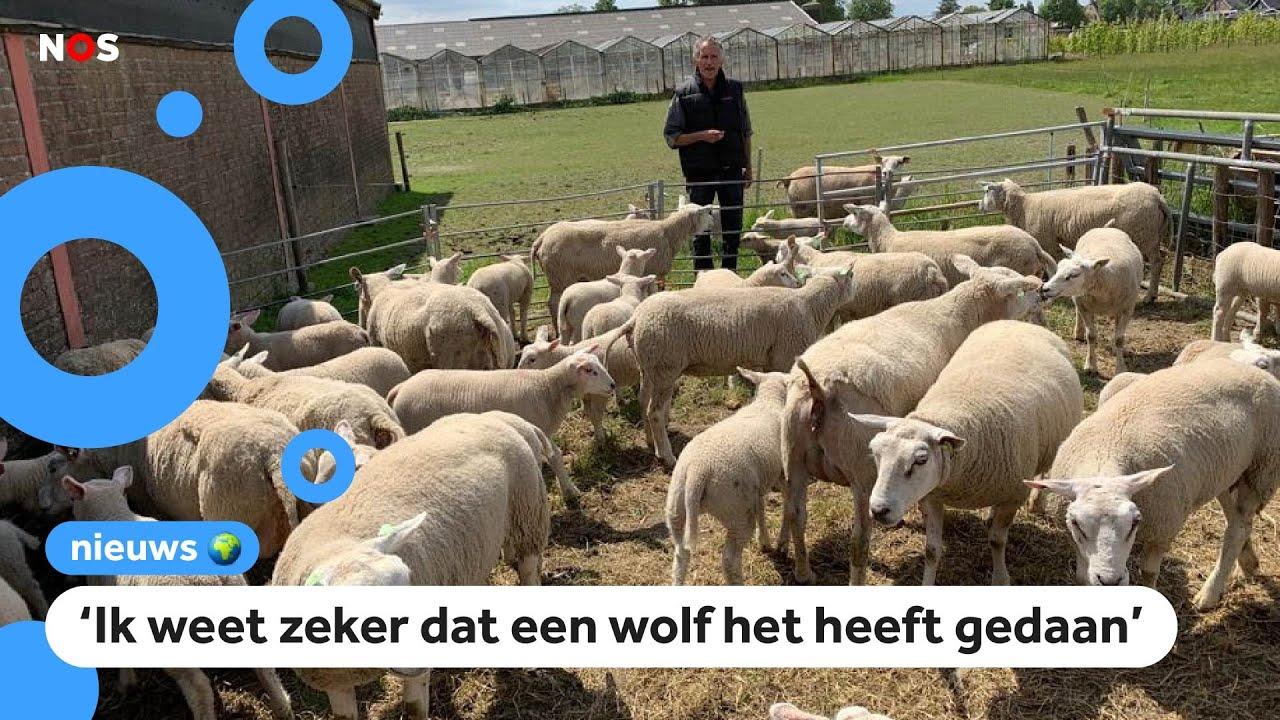 Download Schapenboer boos en verdrietig: 30 schapen doodgebeten