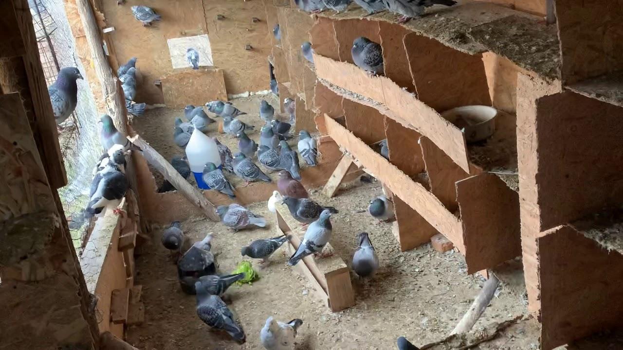Viermi intestinali la porumbei