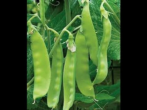 HOW TO GROW SNOW PEAS FROM SEED. - YouTube