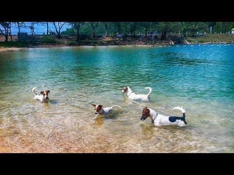 Four Jack Russell Terriers on a Fishing Trip