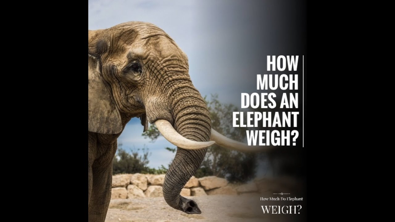 How much does an elephant weigh  YouTube