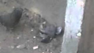 Секс голубей.3gp