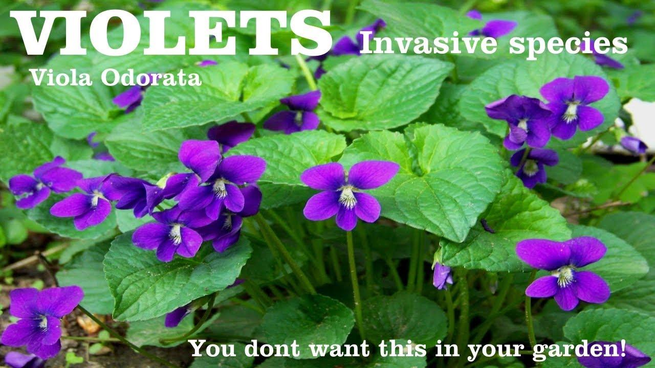 Heirloomreview Violet Viola