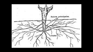 Morfología de la Vid (Vitis Vinifera L.)