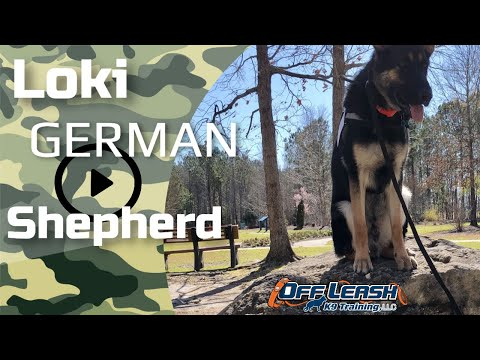 jacksonville-nc-dog-trainers---loki:-9-month-old-german-shepherd-2-week-board-and-train