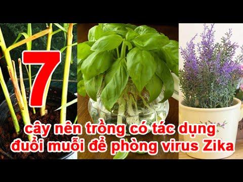 7 cây nên trồng có tác dụng đuổi muỗi để phòng virus Zika (phần 1)