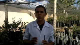 Vídeo Explicativo sobre bactéria Xanthomonas