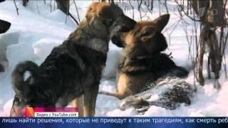 Бродячие собаки загрызли насмерть ребенка в г.Чита или Чита это же Урал!