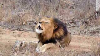 vuclip Le rugissement d'un lion