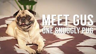 Meet Gus, One Snuggly Pug