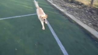 Лабрадор Арчи на футбольном поле. Labrador Archie