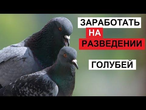 Разведение мясных голубей в домашних условиях как бизнес