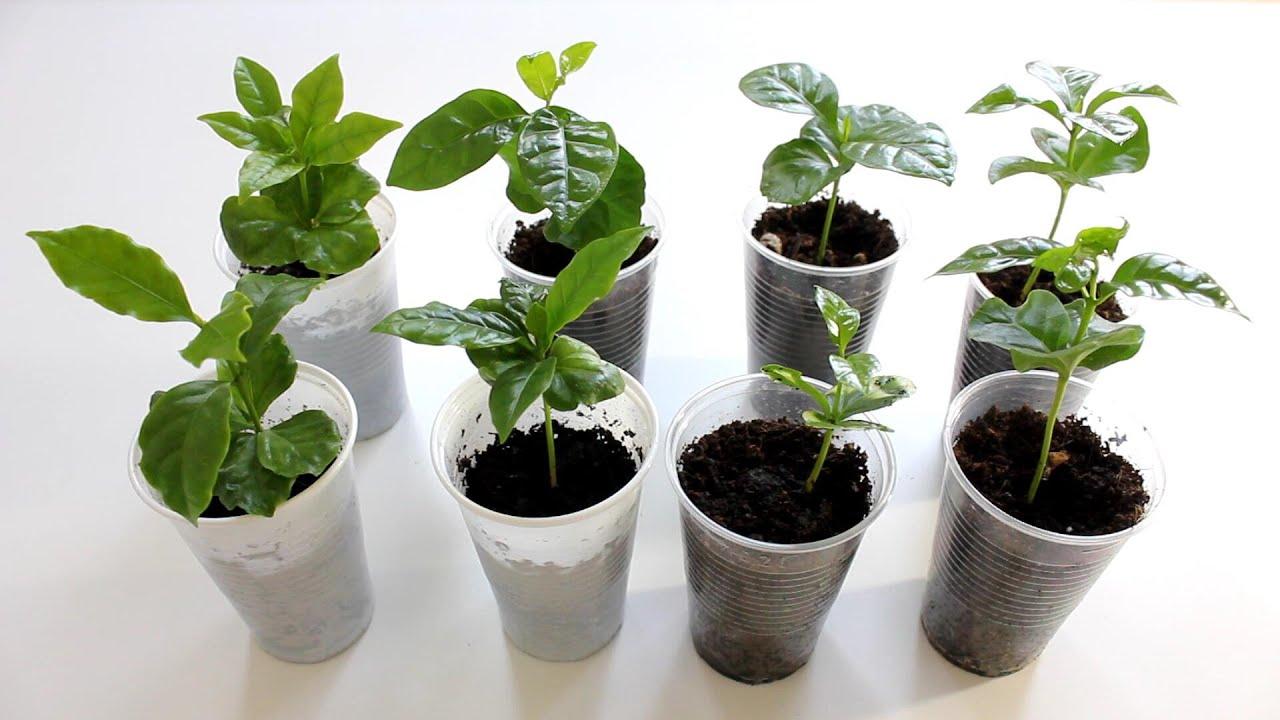 kaffeepflanzen aus samen anziehen youtube. Black Bedroom Furniture Sets. Home Design Ideas