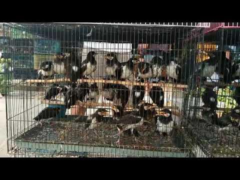 Burung Jalak Suren Ombyokan Di Pasar Burung Lembang Ciledug Tangerang Youtube