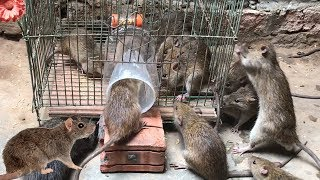 Best Rat Trap 2019 🐀 15 Mice in trapped 1 Hour 🐭 Mouse/ Rat trap 👍 How to Make Rat Trap