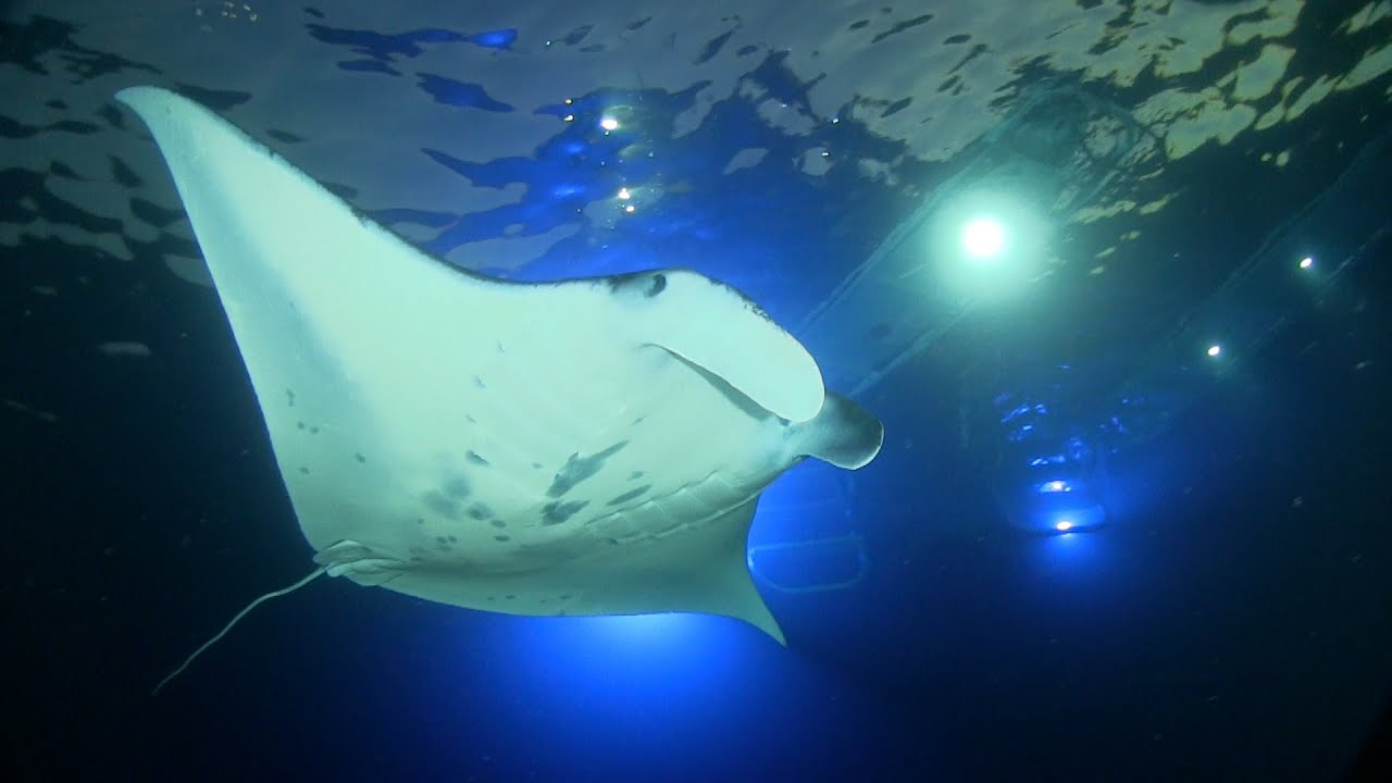Manta Ray Night Snorkel Kona With