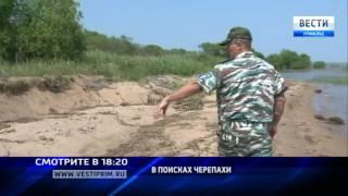 «Вести: Приморье»: Дальневосточная черепаха выводит потомство по берегам Казачьего залива