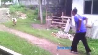 Rambo serang Orang vs Domba