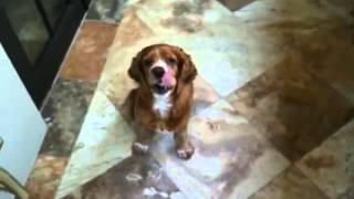 Cocker Spaniel With Annoying Bark