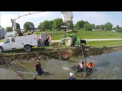 Harvesting Largemouth Bass At McLane Farms
