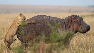 Отважные животные чудом отбиваются от разъяренных хищников.