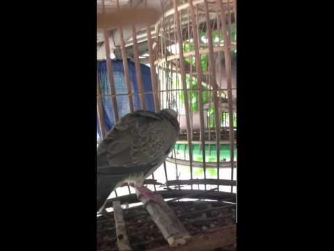 นกเขาใหญ่ต่อ เจ้าเสียงโด่ง