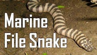Marine File Snake! Very Rare Thailand Snake!