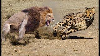 Most Amazing Wild Animal Fights | Lion vs Leopard vs Alligator vs Panther vs Cheetah