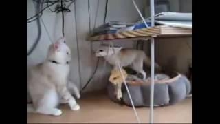 Крутые разборки Кот и Лисичка Фенек!