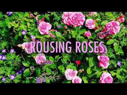 Roses Planting Growing And Pruning Roses The Old Farmer S Almanac