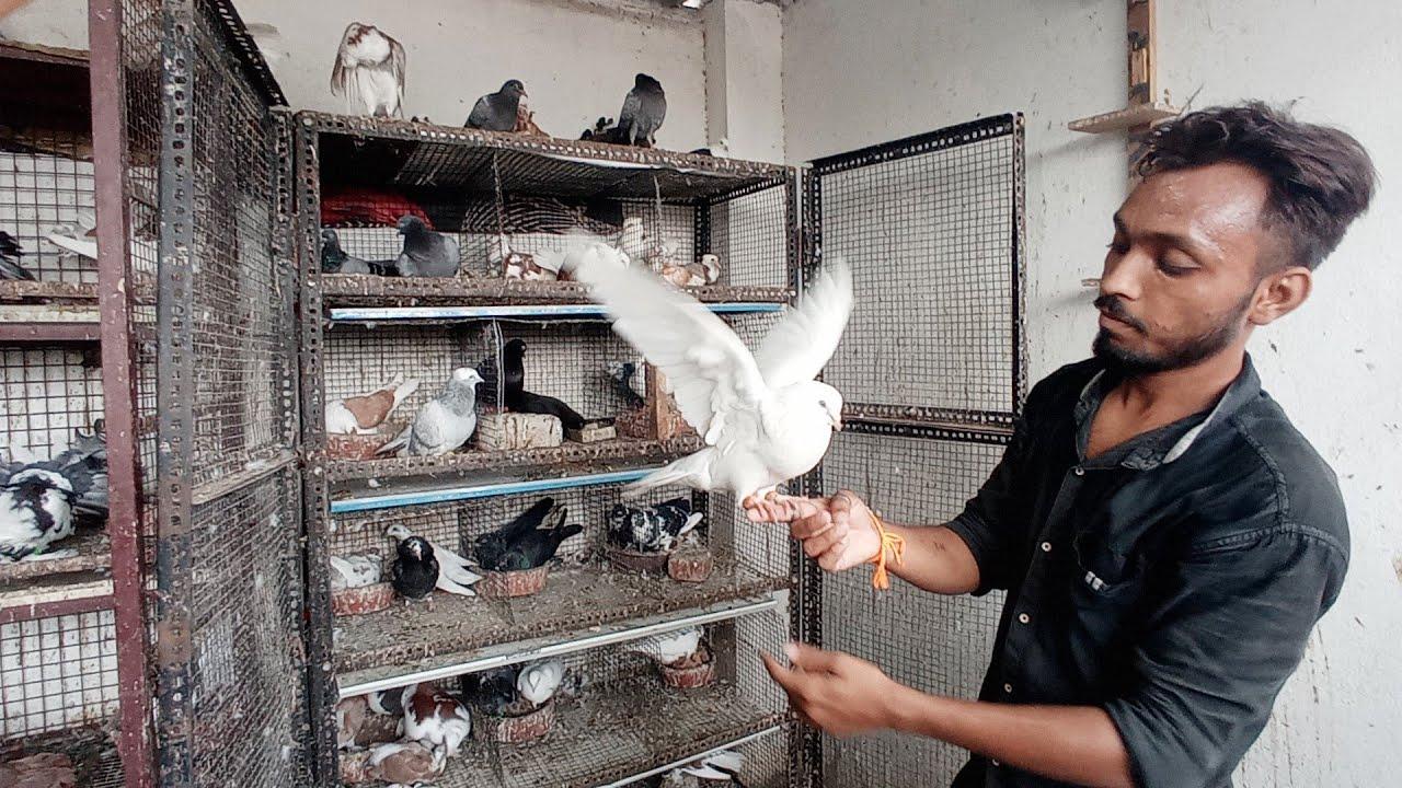 Pigeon in Khandwa    tame pigeon    Karan bhai ka tame kabootar    high flyer pigeon    P5