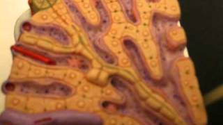 Anatomy & Physiology -  Liver histology - hepatic loble model