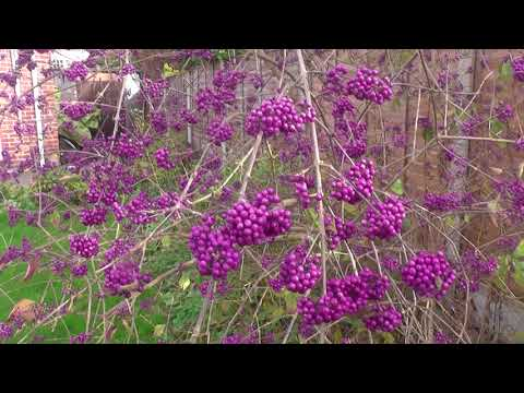 Callicarpa bodinieri var. giraldii 'Profusion' beautyberry 'Profusion'