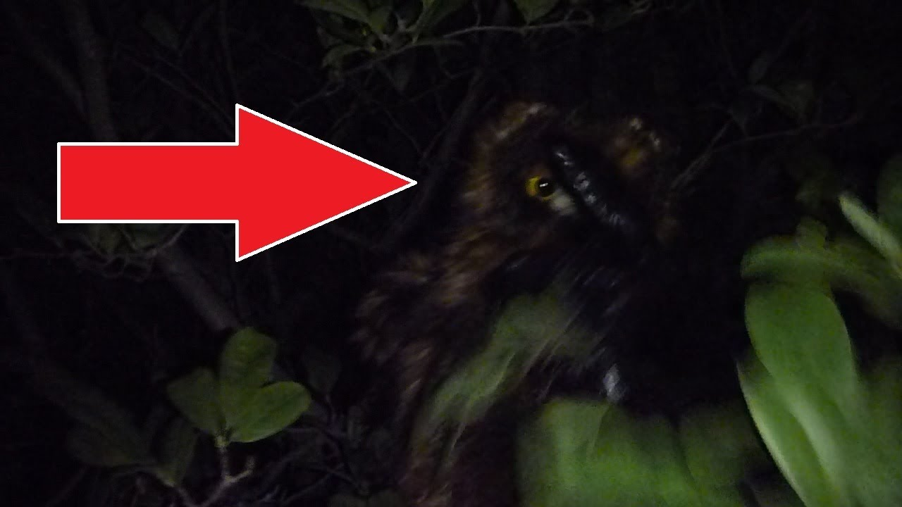 Bigfoot Attacks Owl And Cameraman Home Video Youtube