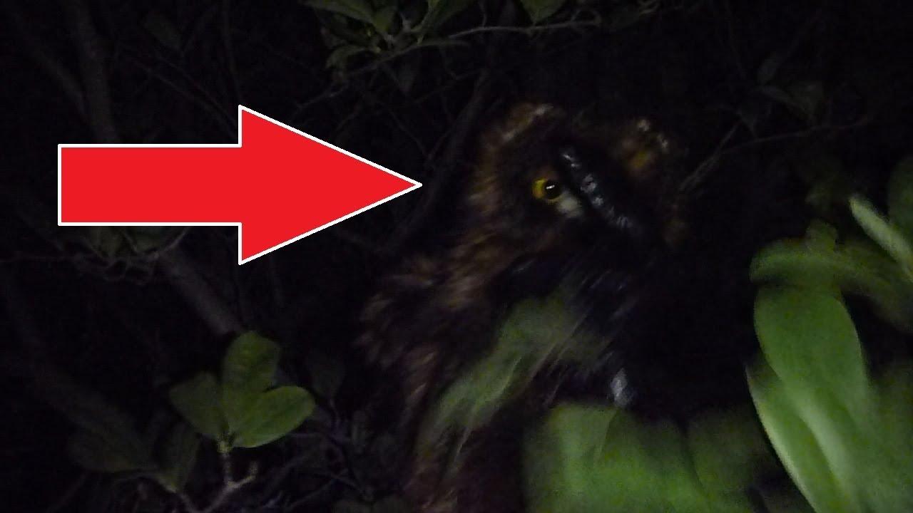 Bigfoot Attacks Owl And Cameraman Home Video Youtube
