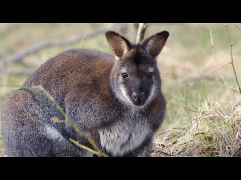 Isle of Marsupials