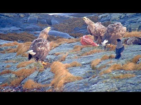 2018/12/01 Norway Smøla  ~White Tailed Eagle Feeding~