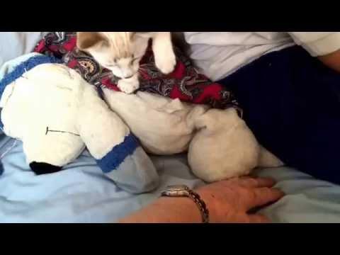Cutest baby Siamese kitten attacks