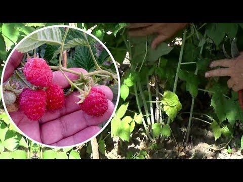 Вопрос: Чем подкормить малину во время цветения Какие удобрения использовать?