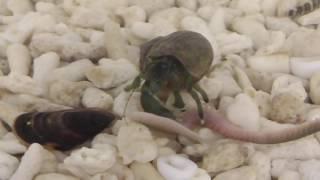 青イソメを懸命に貪っている水槽の中の小さなヤドカリ thumbnail